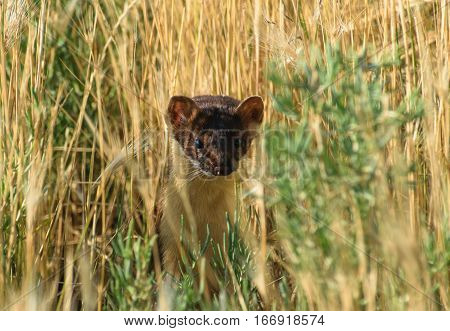 Short-tailed Weasel stalking prey in Tall Grass on the Prairie
