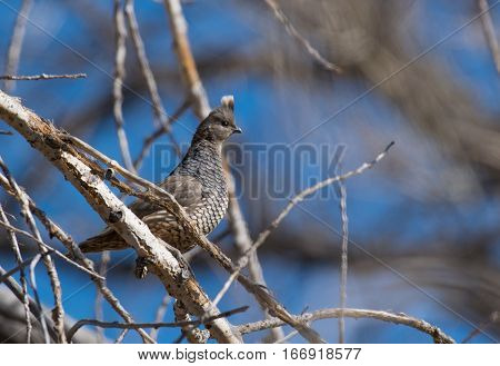 A Scaled Quail Perched on a Branch