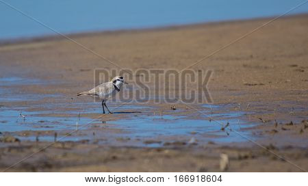 A Lone Snowy Plover Searching for Food along the Shoreline