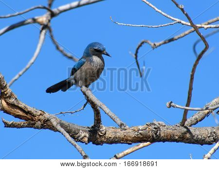 A Woodhouse's Scrub Jay Intrigued by Something