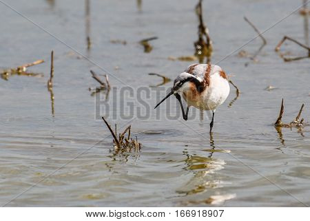 Wilson's Phalarope Scratching face While Looking for Food