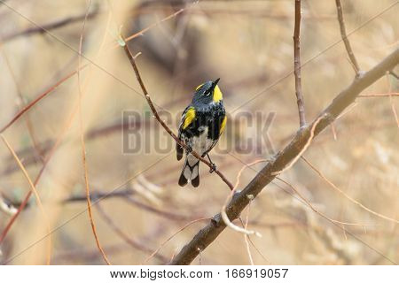 A Yellow-rumped Warbler Looking up at the Sky