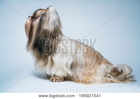Shih tzu dog with long hair profile view. On bright white and blue background.