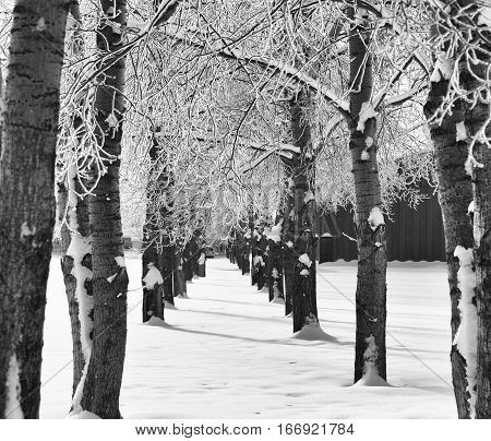 Two rows of poplar trees running parallel to each other with a canopy of snow covered branches in a black and white winter landscape