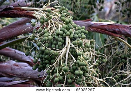 The seeds of palm trees in its crown. Detailed view of a tropical palm tree seeds. Closeup view of dates on a palm tree. Many palm fruit hangs on its tree.