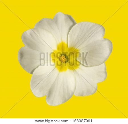 white flower of Primula isolated on yellow background close-up