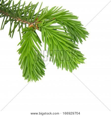 Young branches of pine isolated on white background