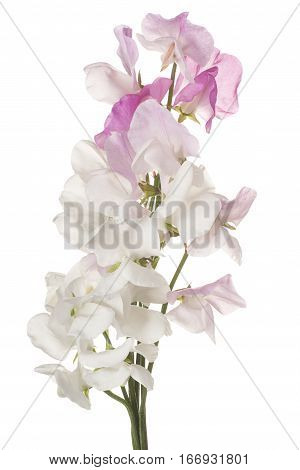 Sweet Pea Flower Isolated