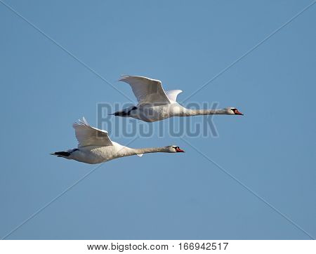 White swans flying against clear blue sky