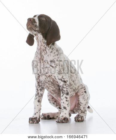 german shorthair pointer puppy sitting on white background