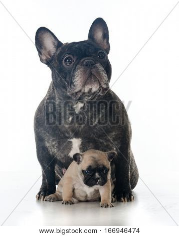 french bulldog mother and puppy sitting together on white background