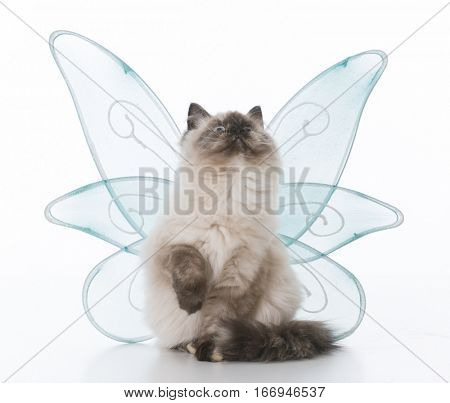female ragdoll kitten with angel wings on white background