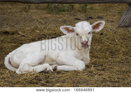 Image of calf on nature background. Farm Animam.