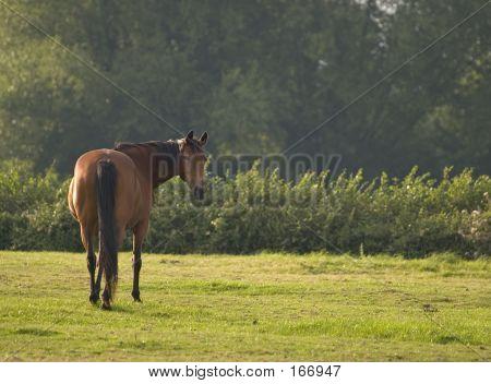 Adult Horse
