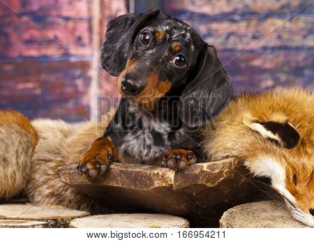 Rabbit Dachshund lying on a fox pelt