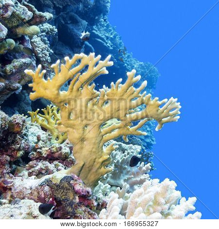 Coral reef with yellow fire coral in tropical sea underwater.
