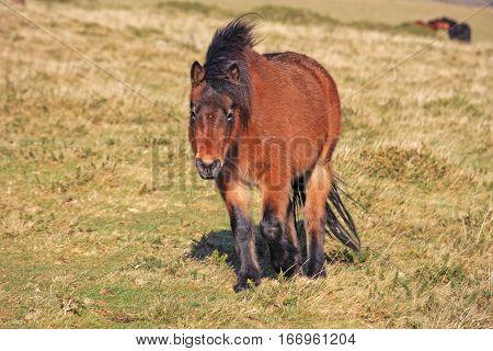Dartmoor pony on the moor in winter