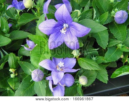 Balloon flower (Platycodon grandiflorus) blooming in the garden
