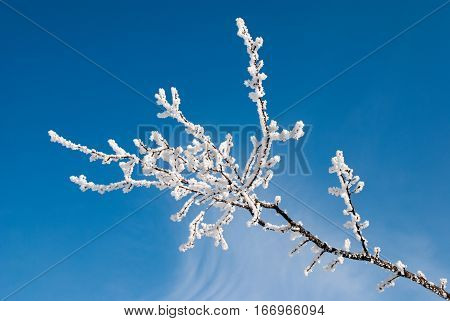 A branch of a poplar covered with hoarfrost on the background blue sky