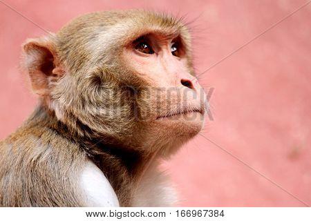 portrait of monkey with sad eyes .