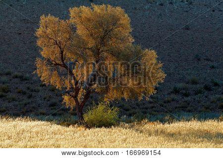 African thorn tree in early morning light, Kalahari desert, South Africa