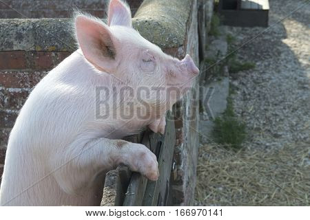 Large pink Pig in pigpen on Farm