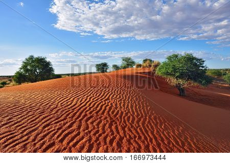 Beautiful landscape in Kalahari. Big red dune with sand waves under bright sunset light painted in vivid colours dramatic cloudy sky abobe