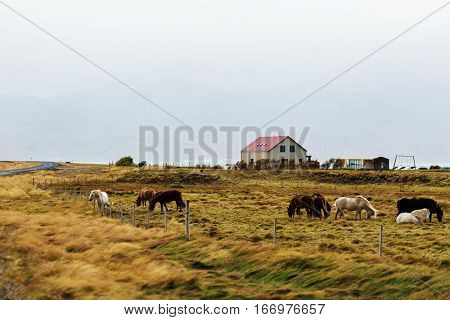 Herd of domestic horses grazing on farmland