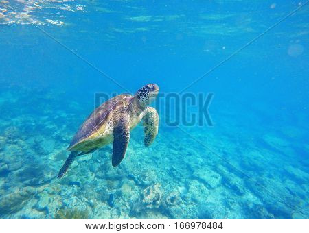Sea turtle in blue water. Green sea turtle diving in coral reef. Sea tortoise.  Aquatic image for banner template or poster with text place