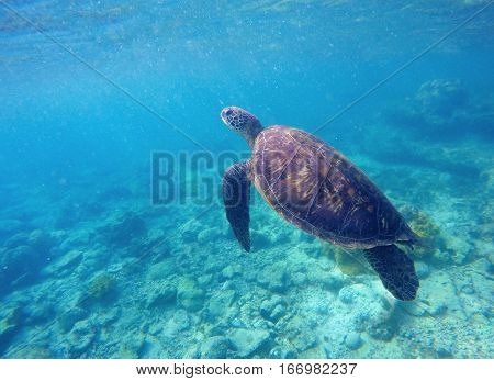 Sea turtle in blue water. Green sea turtle diving in coral reef. Sea tortoise.  Aquatic image of extreme underwater sport with text place