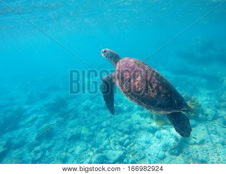 Sea turtle in blue water. Green sea turtle diving in coral reef. Sea tortoise. Snorkeling with turtle in lagoon. Aquatic image of extreme underwater sport with text place