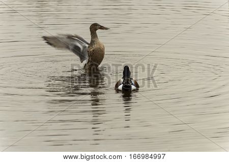 The  anas clypeata duck male and female at the remolar-filipines reserve