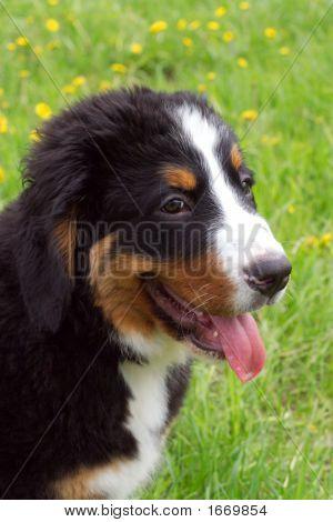 Puppy Bernese Mountain Dog