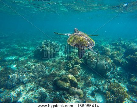 Sea turtle in blue water. Green sea turtle diving in coral reef. Sea tortoise. Green turtle swims in sea. Snorkeling with turtle in lagoon. Nautical image for banner template with text place