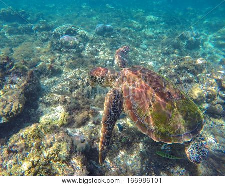 Sea turtle in blue water. Sea tortoise. Green turtle swims in wild nature.  Aquatic image for banner template with text place