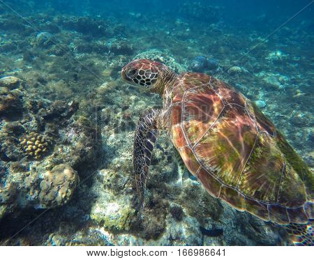 Sea tortoise. Green turtle swims in sea. Snorkeling with turtle in lagoon. Aquatic image for banner template with text place
