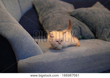 Cute siberian kitten playing at blue sofa, close up