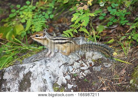 Little chipmunk with black stripes on the back in green grass.