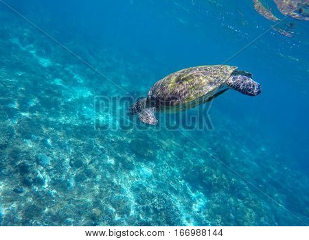 Sea turtle in blue water. Green sea turtle near sea bottom. Snorkeling with turtle in lagoon. Nature image for banner template or poster with text place
