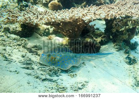 Stingray resting under a coral umbrella. Fish of the red sea.