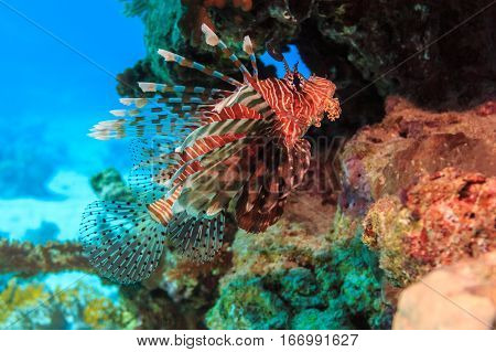 Lion fish among the corals on the sea bottom. Fish of the red sea.
