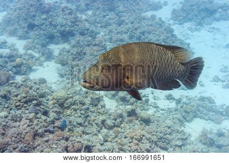 Fish Napoleon in the depths of the red sea. Underwater photography. Fish of the red sea.