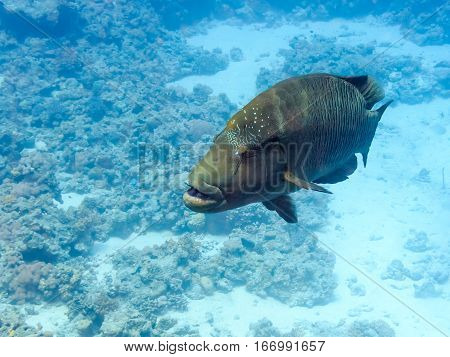 Napoleon fish on coral reef. Underwater at the bottom of the red sea. Fish of the red sea.