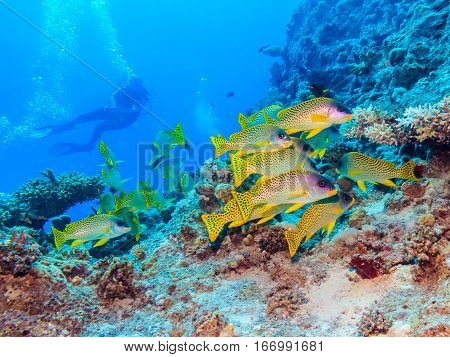 A flock of yellow fish on the coral reef. Underwater at the bottom of the red sea. Fish of the red sea.