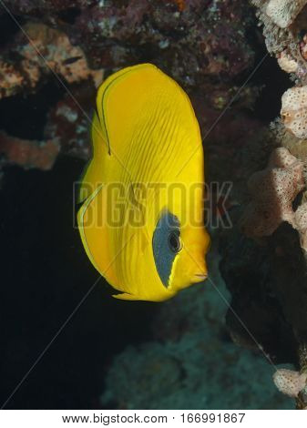 Lemon butterfly fish. Fish of the red sea.