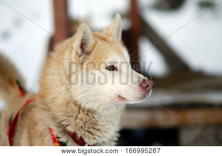 Head of red working Sled Husky dog. Working sled dogs of the North. Husky sledding in the winter. North active dog in the harnesses to drive in the snow.
