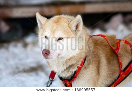 Portrait of red Sled Husky dog. Working sled dogs of the North. Husky sledding in the winter. North active dog in the harnesses to drive in the snow.
