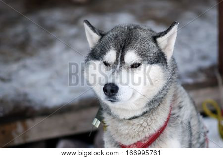 Silver Sled Husky dog. Working sled dogs of the North. Husky sledding in the winter in the harnesses to drive in the snow.