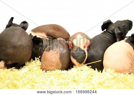 Different Guinea Pigs