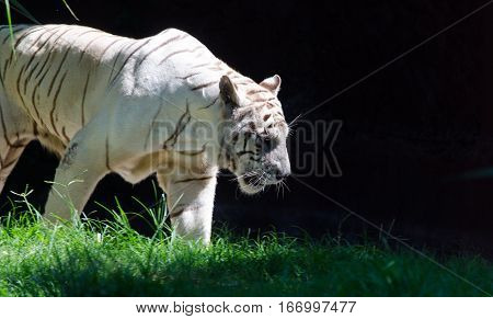 A majestic white tiger emerges from the shadows hunting for its prey